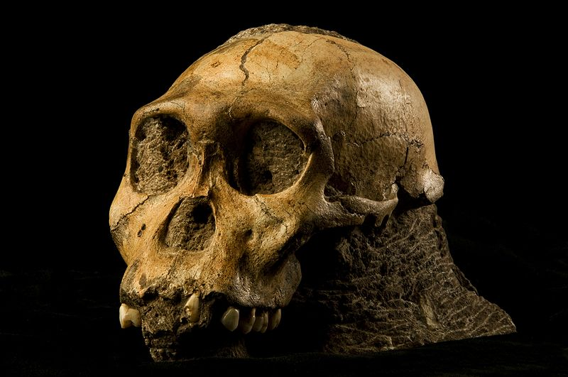 our closest ape like ancestor is reshuffling thinking about human