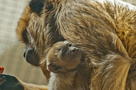 Baby Black Howler Monkey Born at the Smithsonian's National Zoo