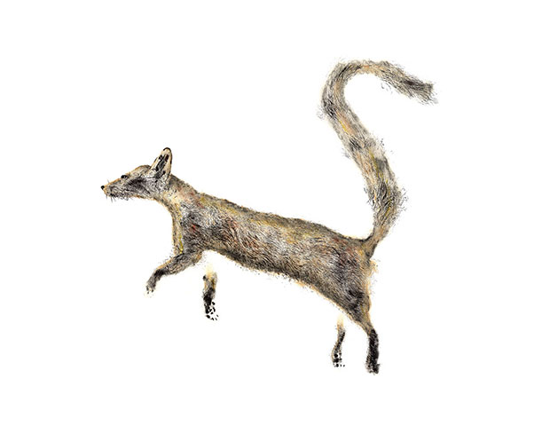Ring-tailed .
