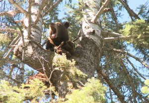 This black bear has been chased up a tree by a pack of hounds in the California wilderness but appears unconcerned about its predicament. The bear was not shot. Photo by NAME.