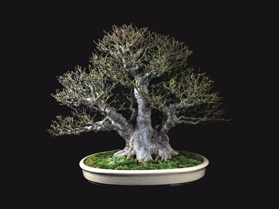 Nature S Way Bonsai
