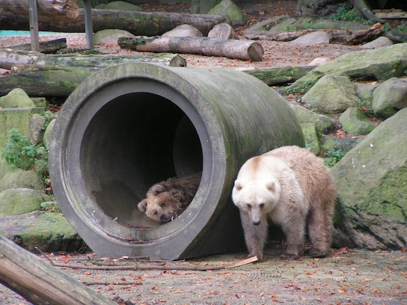 Brown Polar Bears