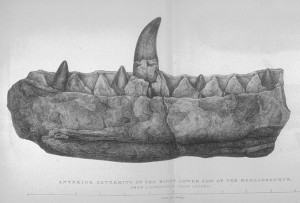 A portion of the lower jaw of Megalosaurus. It is the only fossil that can be presently attributed to this dinosaur.