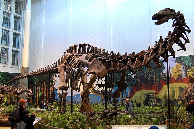 Apatosaurus as it stands today in the Carnegie Museum. From Wikipedia.