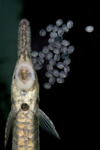 Twig Catfish