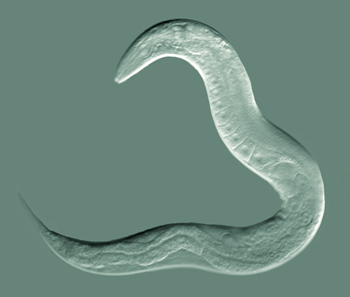 C. elegans (via wikimedia commons)