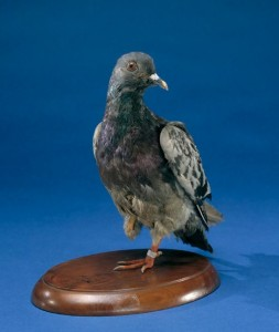 Cher Ami, awarded the French Croix de Guerre, died of his wounds in 1919. He is now on display at the Smithsonian Museum of American History.