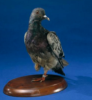 "Cher Ami, an American veteran of the First World War, was credited with carrying the message that saved 200 men of the ""Lost Battalion"" during the Battle of the Argonne in 1918 despite losing a leg and an eye to shell splinters in the maelstrom of battle. Decorated with the French Croix de Guerre, he was preserved after death and can still be seen on display in the American Museum of Natural History."
