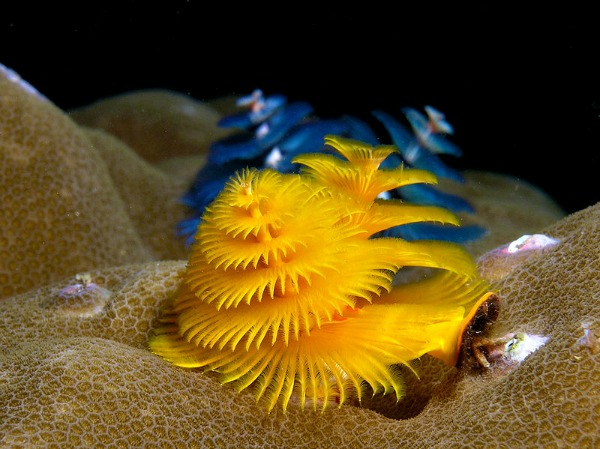 Christmas Tree Worms - Yellow and Blue
