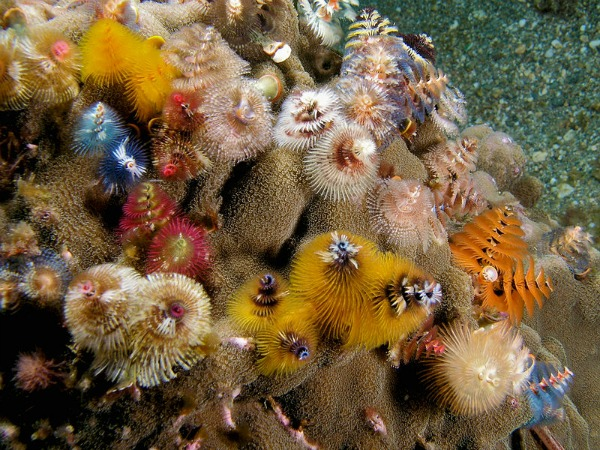 Christmas Tree Worms - Group