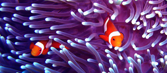 Clownfish lurk in a bed of sea anemones