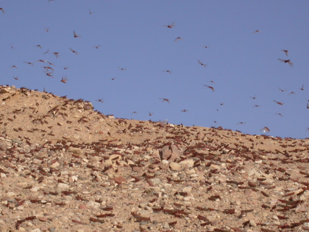A Plague of Locusts Descends Upon the Holy Land, Just in ... Locusts Swarm Bible
