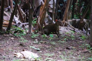 An agouti makes a surprise appearance during Megan's tour of the forest at STRI. (Photo by Megan Gambino)