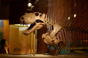 A reconstruction of Dimetrodon on display at the National Museum of Natural History. From Wikipedia.