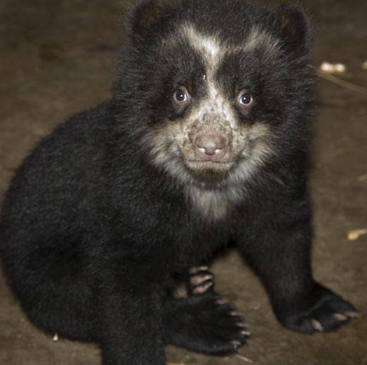 The National zoo's female andean cub could be named Caridad, Chaska, Paqarina or Roraima. Photo courtesy of Mehgan Murphy.
