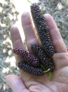 And you thought blackberries were a prize. Mulberries are pure sweetness, without the bitter tannins or scratchy thorns associated with most bush-berries. These berries are of the Pakistan, the largest and probably best mulberry variety. Photo by Alastair Bland.