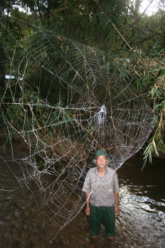 Darwin's bark spider spins the world's longest webs. Credit: M. Kuntner