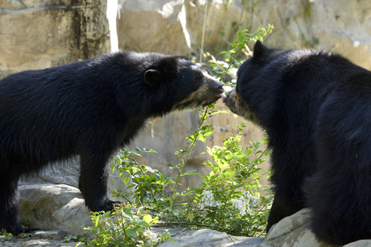 Three-year-old Andean Bear Billie Jean, left, kisses her mate, 18-year-old Nikki, at the National Zoo. Billie Jean recently gave birth to twin Andean bear cubs--the first Andean cubs to be born at the Zoo in 22 years. Courtesy of the National Zoo.
