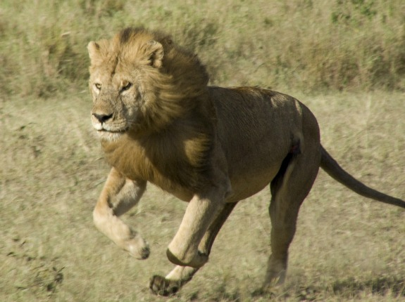 should trophy hunting of lions be banned great cats of