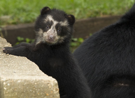 The zoo has four choices for the male andean bear cub in it's naming poll: Atiq, bernardo, Churun and Juco. Photo courtesy of Mehgan Murphy.