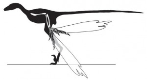 A partial restoration of Microraptor showing how the wrist could be flexed. From the Proceedings of the Royal Society B paper.