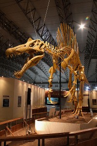 The reconstructed skeleton of Spinosaurus. According to new research, it probably had a quick bite. From Wikipedia.