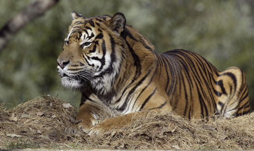 Rokan, the National Zoo's eldest male tiger, died today at age 20.