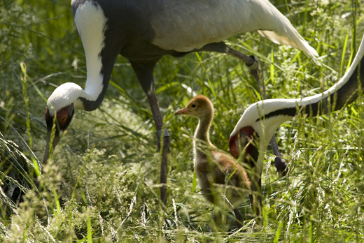 Two white-naped crane chicks (one shown above) were born at the National Zoo's xxx this month. Photo by Mehgan Murphy.