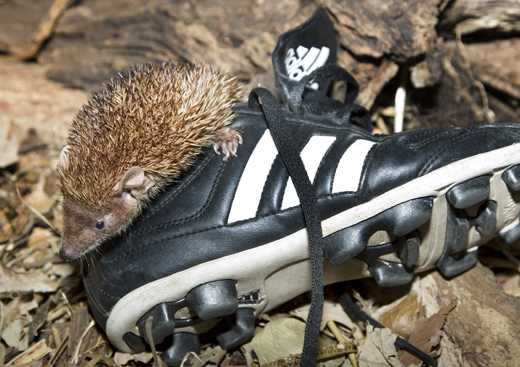 The National Zoo's Madagascar Hedgehog Tenrec climbs out of a cleat today. Keepers set out soccer equipment to get the animals in the spirit of the game. Photo by Mehgan Murphy.