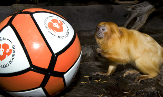 This Golden Lion Tamarin looks ready to go for the ball at the National Zoo. Photo by Mehgan Murphy.