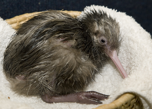 The birth of the zoo's new baby kiwi bird Tuesday marked only the fourth time a kiwi birth occured at the zoo. Photo By Mehgan Murphy.