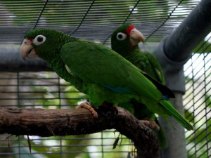 Puerto Rican parrots at Rio Abajo (photo by Brendan Borrell)