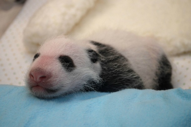 Panda cub getting a check up at the Smithsonian National Zoo