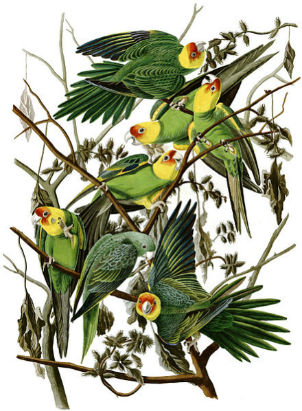 Extinct Carolina Parakeets