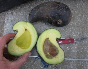 This beautifully bizarre, cashew-shaped avocado was found in Peru and bore rich, buttery flesh. Photo by Alastair Bland.