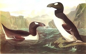 Audubon's painting of great auks (via wikimedia commons)