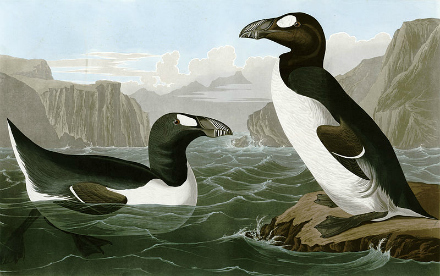 Extinct Great Auk