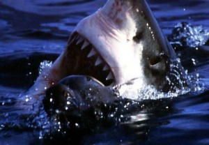 A mouth made to kill: Do great white sharks still deserve protected status in Western Australia, where the huge fish have killed five people in less than a year? Conservationists believe so. Photo courtesy of the Pelagic Shark Research Foundation.