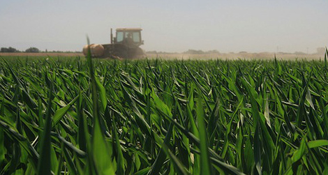 San Joaquin Valley cornfield