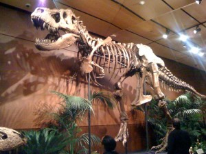 The restored skeleton of Samson the Tyrannosaurus. From Wikipedia.