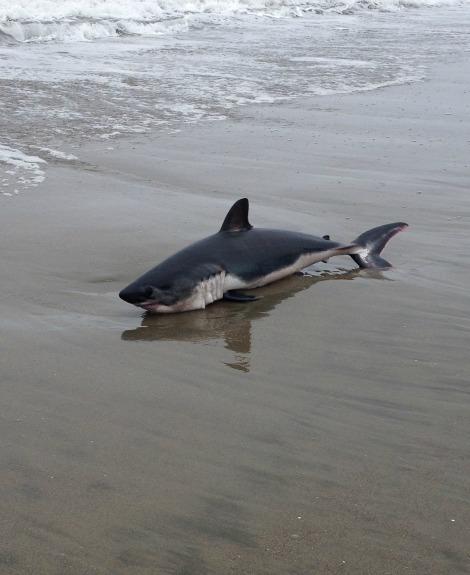 Shark Juvenile a Juvenile Salmon Shark