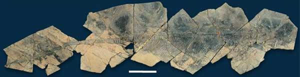 Shastasaurus skeleton