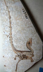 The skeleton of Sinosauropteryx, complete with preserved feathers. From Wikipedia.
