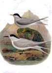 1888 illustration of black-fronted terns (via wikimedia commons)