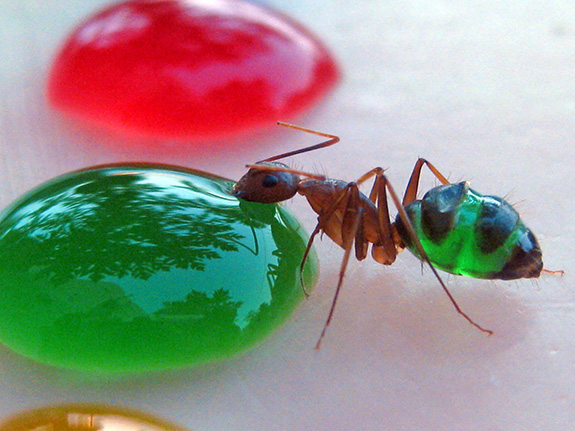 These Rainbow-colored Transparent Ants Are What They Eat | Science ...