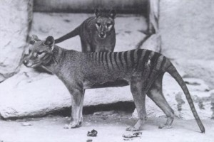 Captive thylacines in Washington, D.C., c. 1906 (via wikimedia commons)