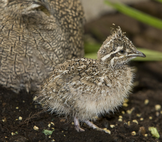 Four tinamou chicks were born at the National Zoo for the first time late October. Photo by Mehgan Murphy.