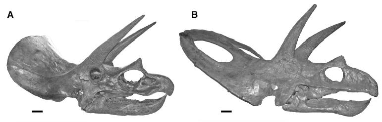 Two Triceratops skulls. The one on the left represents the classic, young-adult form, and the one on the right represents the fully mature form (previously called Torosaurus). From the Journal of Vertebrate Paleontology paper.
