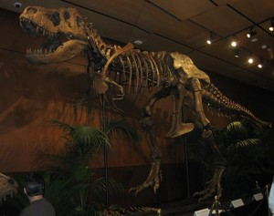 "The Tyrannosaurus Rex skeleton ""Samson"" is going up for auction on October 3rd in Las Vegas.  Courtesy Flickr user airgap"