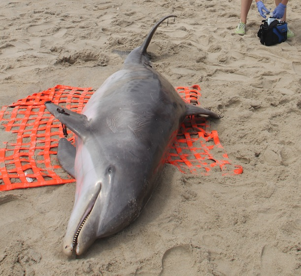 Why Are So Many Dolphins Washing Up Dead on the East Coast ...
